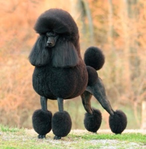 black-poodle-ch jaset's satisfaction
