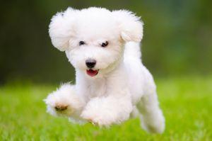 Fluffy-White-dog