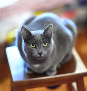 russian-blue-cat-best-hq-wallpapers-free-download-animal-cat-images