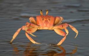 Jimmy the crab.