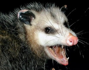 Snickers the possum.