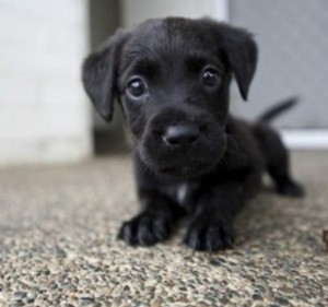 cute-black-lab-puppies-hvgj-cute-black-labrador-dog